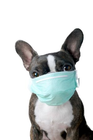 Photo pour Portrait boston terrier dog with medical doctor mask pure breed white background - image libre de droit