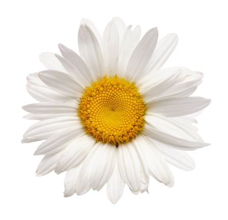chamomile flower isolated with clipping path
