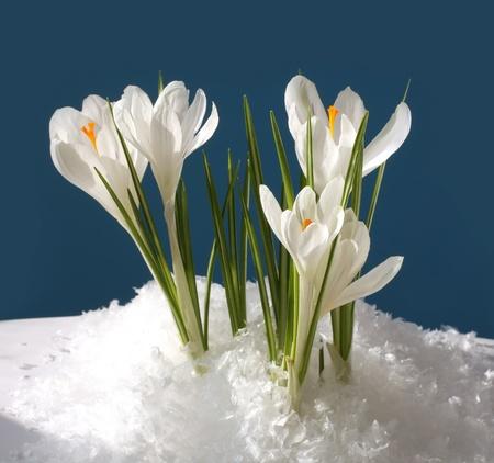 snowdrop in snow