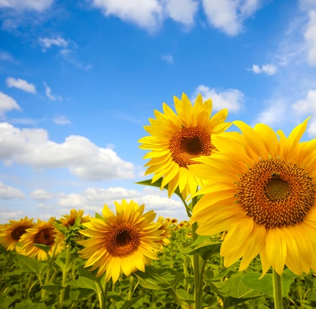 Photo pour sunflower - image libre de droit