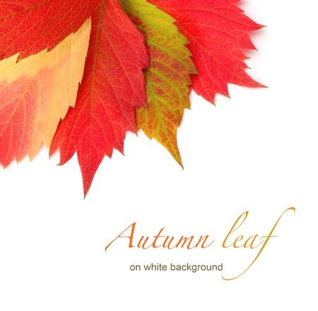 Photo pour autumn leaf on white background - image libre de droit
