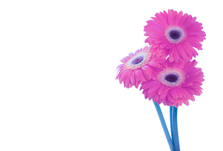 Photo for Pink magenta gerbera flower isolated on white background - Royalty Free Image