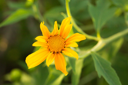 Tree marigold, Mexican tournesol, Mexican sunflower, Japanese sunflower, Nitobe chrysanthemum