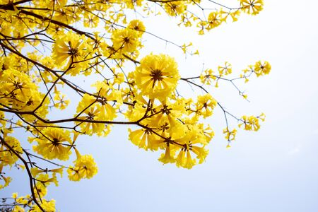 Photo pour Yellow blossoms flower on day sky - image libre de droit