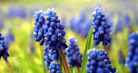 Grape hyacinths meadow, extremely macro