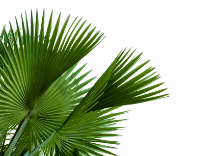 green palm leaf isolated on white background, clipping path included.