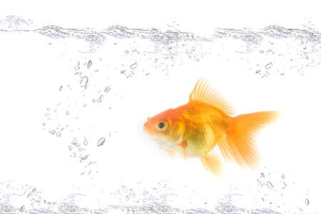 gold fish at water isolated on white