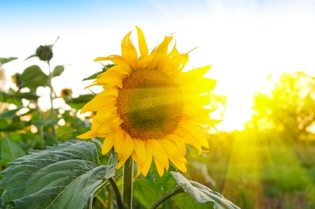 Foto de beautiful sunflowers at field with blue sky and sunburst - Imagen libre de derechos