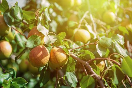 Foto für Pear tree with pears, organic natural fruits in a garden - Lizenzfreies Bild