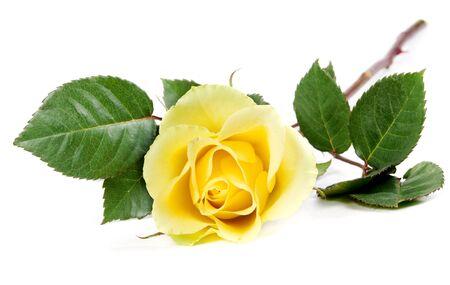 fresh yellow roses isolated on white background