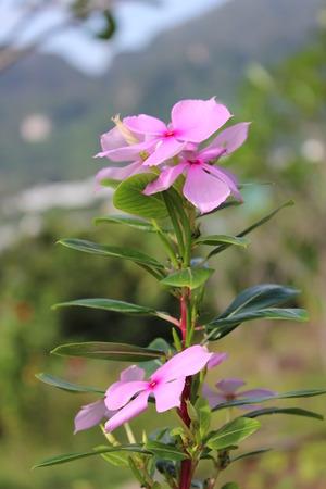 flowers pink color, flower in thailand, Adenium obesum, Desert Rose, Mock Azalea, Impala Lily