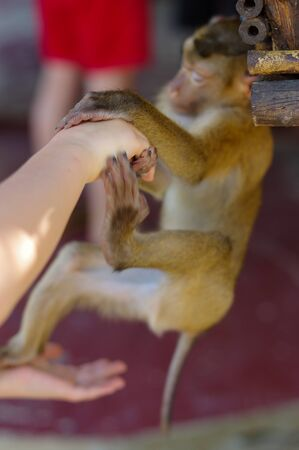 young macaca monkey hanging on a the human hands and hold finger or part of human hand. Contact betwen animal and human.