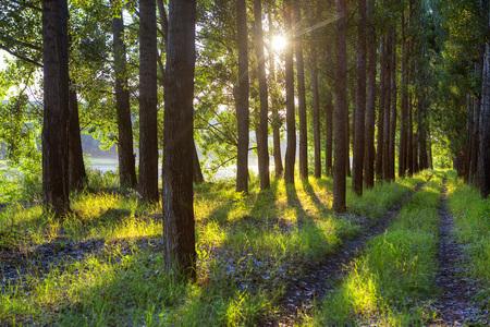 Photo pour sunlight through the trees in the summer forest - image libre de droit