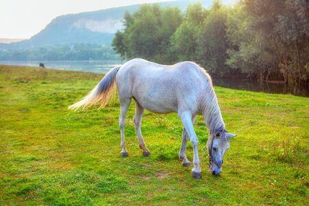 Photo pour white mare grazing grass on the river shore - image libre de droit
