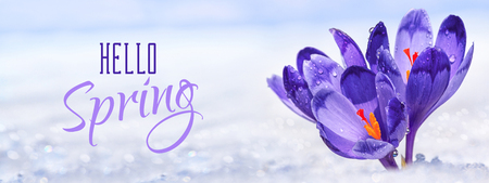 Crocuses - blooming purple flowers making their way from under the snow in the form of postcard with greeting text, closeup, banner