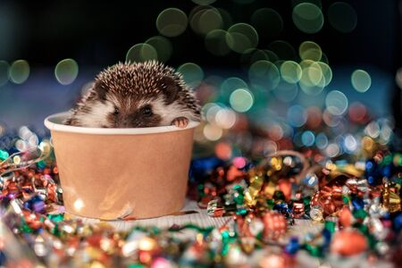 Photo for A small decorative hedgehog is looking at the camera. Christmas card with a cute little hedgehog. Holidays, winter and celebration concept. copyspace - holidays, animals and celebration concept - Royalty Free Image