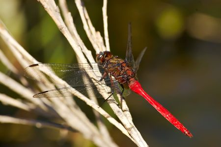 red dragonfly sitting on a reed
