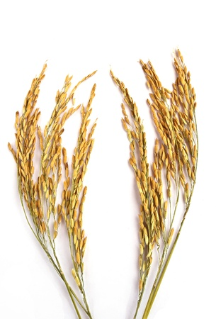 Close up wheat isolated on white background