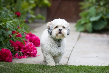 Photo for Lhasa apso - Royalty Free Image
