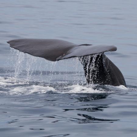 Sperm Whale, Kaikoura, South Island, New Zealand