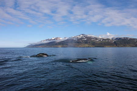Two Humpback Whales while whale watching in Dalvik, Iceland