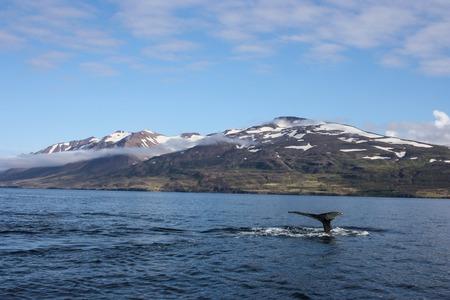 Great Humpback Whale fluke in Dalvik, Iceland