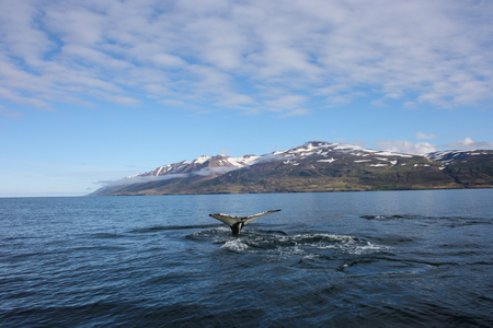 Great Humpback Whale fluke while whale watching in Dalvik, Iceland
