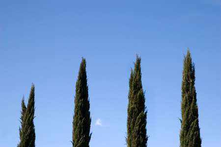 Line of cypress trees  Trees aligned perpendicularly with blue sky in the background