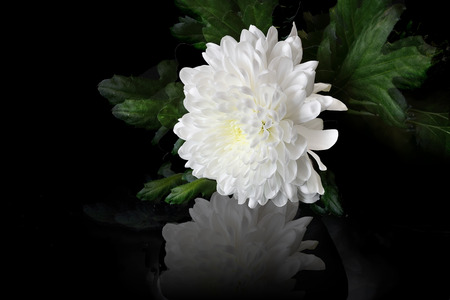 Photo pour Beautiful white chrysanthemum flower with leaves and reflection on a black background. - image libre de droit