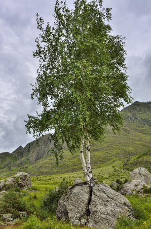 Foto de Birch roots sprouted through a stone and split a boulder. Summer landscape in the Altai Mountains, Russia - the concept of survival in adverse conditions, vitality and hope - Imagen libre de derechos