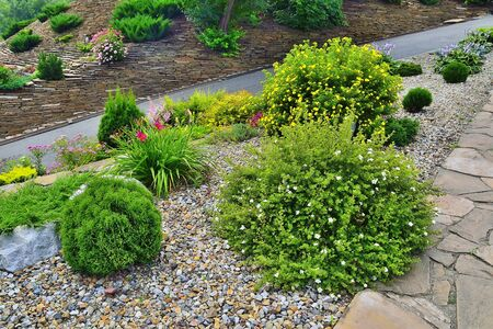 Photo pour Two blossoming shrubs of shrubby cinquefoil (Dasiphora fruticosa} with white and yellow flowers among stones and various dwarf conifers and flowers - landscape design of the garden on hill - image libre de droit