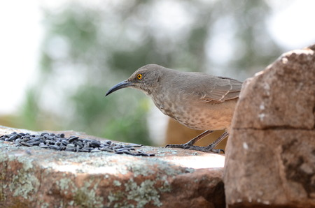 Southwest USA Beautiful Curve-billed Thrasher Bright yellow orange eyes, Faint spots on chest and belly, Long, thin, slightly down-curved bill. Dull grayish brown all over. Large, long-tailed songbird is a medium-sized mimid that is a member of the genus