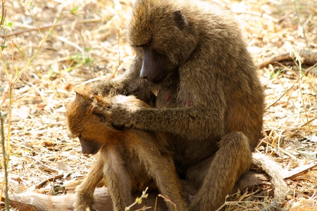 A Baboon  Papio anubis  mother attentively searching her offspring for any sign of parasites