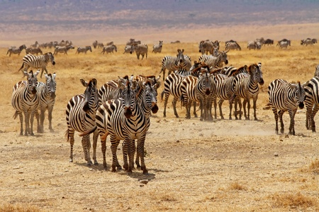 A zebra herd stops and stare
