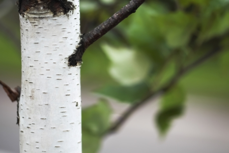 Photo of a bark of a birch in rainy weather
