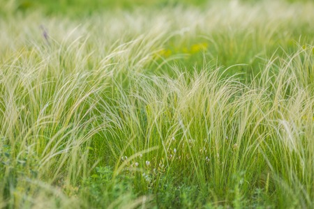 Foto de Feather Grass - Imagen libre de derechos