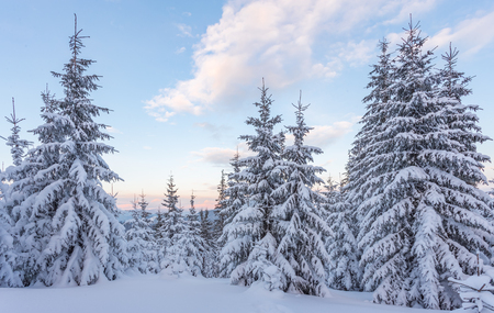 Photo pour Spruce Tree Forest Covered by Snow in Winter Landscape - image libre de droit