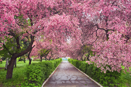 Photo for Park with alley of blossoming red apple trees. Spring landscape - Royalty Free Image