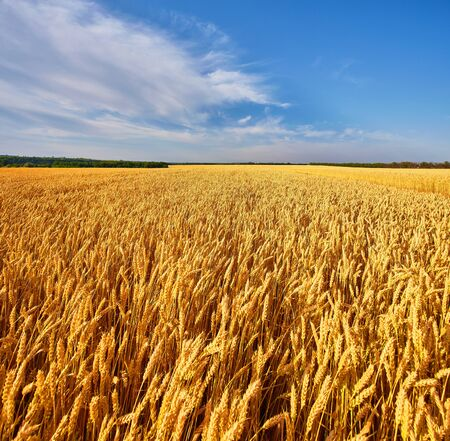 Photo for Field of Golden wheat under the blue sky and clouds - Royalty Free Image