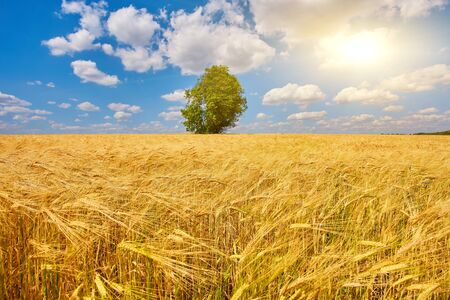Photo for Gold Wheat flied panorama with tree at sunset, rural countryside - Royalty Free Image