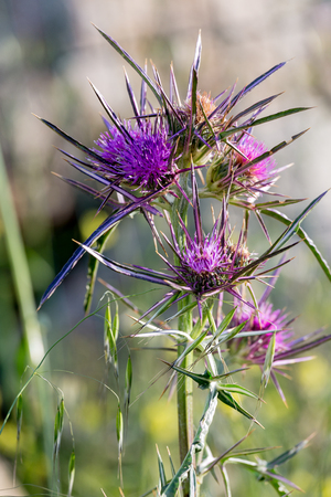 Blossoming bright pink thistle flowers
