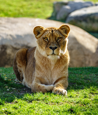 Female lion laid down looking to the camera