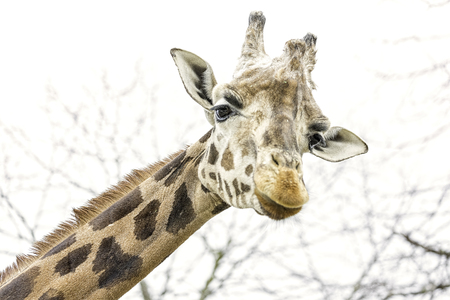 Foto per The northern giraffe (Giraffa camelopardalis), also known as three-horned giraffe - Immagine Royalty Free