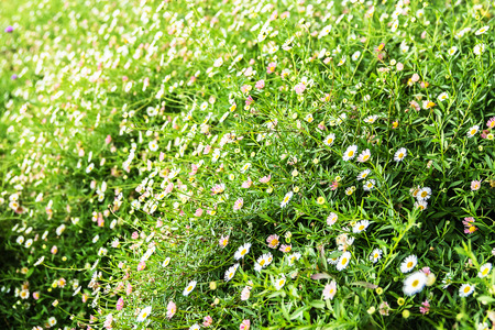 Gypsophila petite flower background