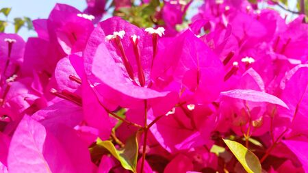Photo for Shiny and flush abstract flower background photo with sunshiny bougainvillea flower Royalty-free stock picture. - Royalty Free Image