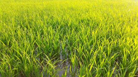 Photo for Royalty-free Stock images Reflections of eco area photo or the wind slowly blows on green rice yard for website background at Asia. - Royalty Free Image