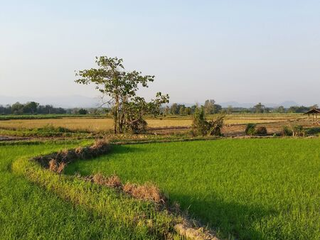Photo for Riceland with sky natural space each morning. Rice land that are beginning growing during the cold months. Farmer has start new season of grow rice at Northern of Thailand. Royalty-free stock picture. - Royalty Free Image