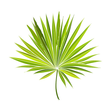 Vektor für Full fresh fan shaped leaf of palmetto tree, vector illustration isolated on white background. Realistic hand drawing of palmetto palm tree leaf, jungle forest design element - Lizenzfreies Bild