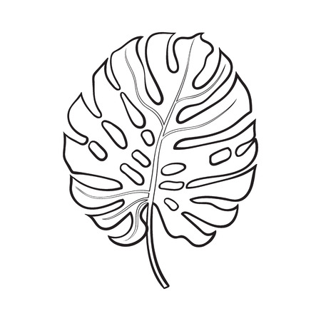 Illustration for Full fresh leaf of monstera palm tree, sketch style vector illustration isolated on white background. Realistic hand drawing of monstera palm tree leaf, jungle forest design element - Royalty Free Image
