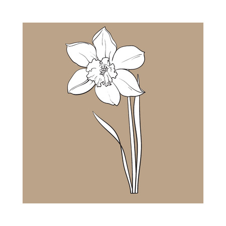 Single daffodil, narcissus spring flower with stem and leaves, sketch illustration isolated on brown background. Realistic hand drawing of daffodil spring flower in vertical position